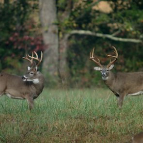 States debate urine-based deer attractant