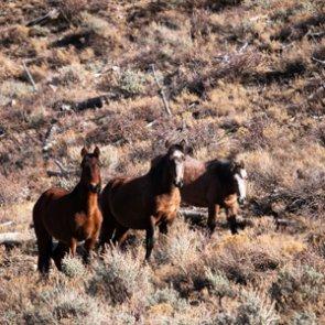 Oregon to cut wild horse population in Ochoco National Forest in half