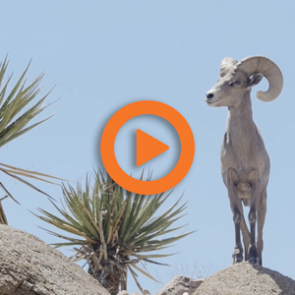 Short Film Release: WILD SHEEP