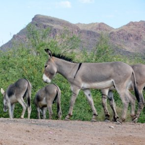 Arizona seeks answers to burro problem