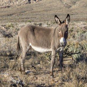 Invasive burros impacting wildlife