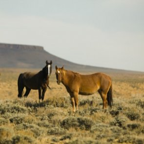 Nevada's wild horse population hits all-time high
