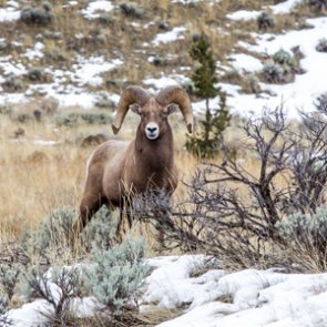 Wildfires a positive deal for Colorado bighorn sheep?