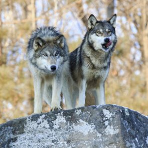 Lawmakers propose bill to end wolf management in Wisconsin