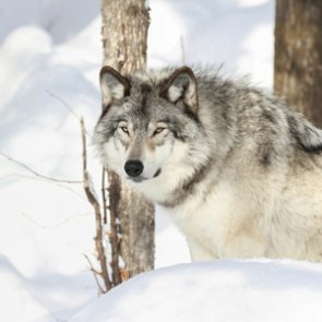 2014 wolf numbers released