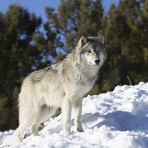 No wolf reintroduction for Colorado