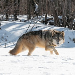 Washington: Ok to kill wolf pack