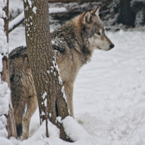 """Budweiser """"Lost Puppy"""" Super Bowl ad angers wolf activists"""