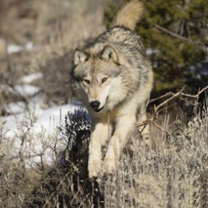 Utah man who shot wolf goes free