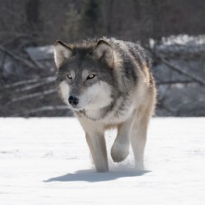 Information sought for wolf, moose and elk poachers
