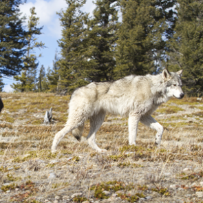 Idaho wolf pop. above Federal recovery levels