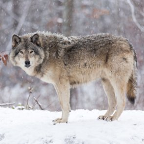 Mistaken identity: Wolf shot in Colorado?