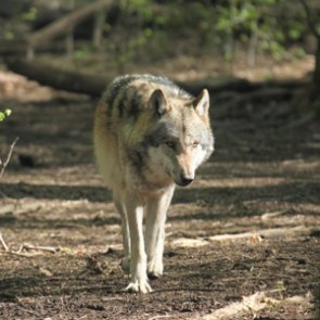 Second gray wolf ever spotted in California