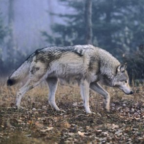 USFW rejects petition to list wolves as threatened