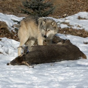 Increased funds to kill wolves in Idaho