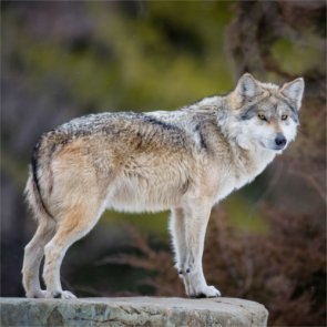 Oregon delists wolves