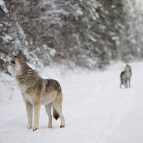 Wolves divide Washington