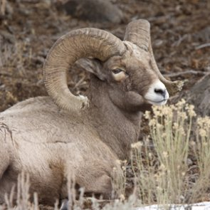 Landowner battle over domestic sheep and wild bighorns