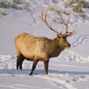 Teton elk hunt faces court battle