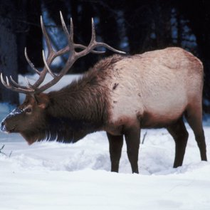 Wyoming evaluates effectiveness of CWD vaccine