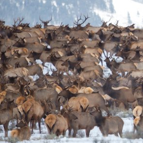 Suits filed against western Wyoming elk winter feedgrounds
