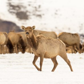 Groups sue to end Wyoming elk feeding program