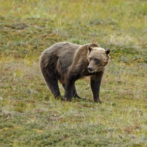 Groups file intent to sue over governmental plans to kill 72 grizzlies