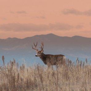 Wyoming mule deer get large boost