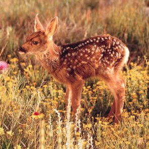 Fawn survival and Wyoming's declining deer numbers