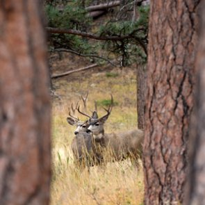 Habitat project helps Wyoming mule deer