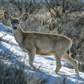 New study identifies challenges of timing mule deer births