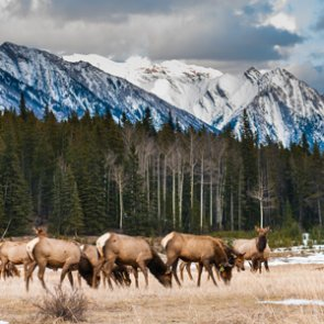 Annual Grand Teton elk hunt underway