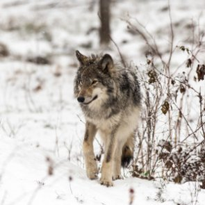 Wolf management returned to Wyoming