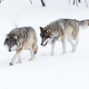 Wyoming wolf population steady at over 300 animals