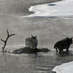 The wolf protection debacle