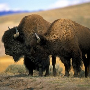 Environmental groups sue over capture of Yellowstone bison