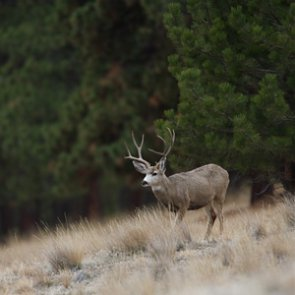 First CWD case confirmed in Yellowstone County