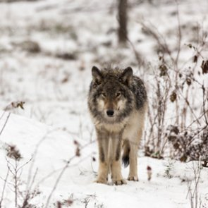 New Yellowstone reports find stable wolf and grizzly populations