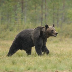 FWS restores federal protections to Yellowstone grizzlies