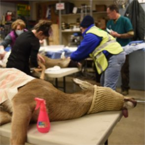 Michigan tries sterilization to manage deer population