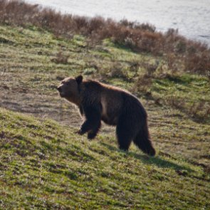 Alaska calls board meeting to possibly allow transfer of 2020 bear permits