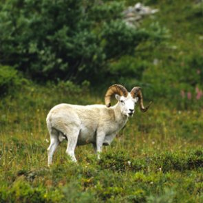 Permits not required for domestic sheep or goats in Alaska