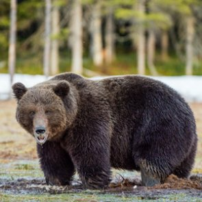 Hunter killed by grizzly bear in Alaska