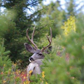 Alaska seeks mule deer information
