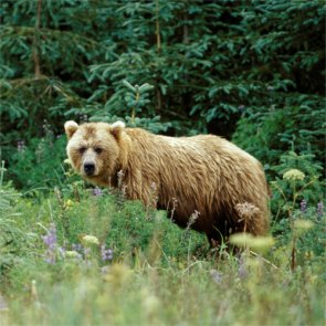 Dangerous number of female brown bears taken in Alaska hunt unit