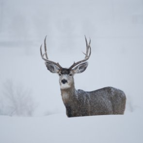 Mule deer saved thanks to wildlife officer's lassoing skills
