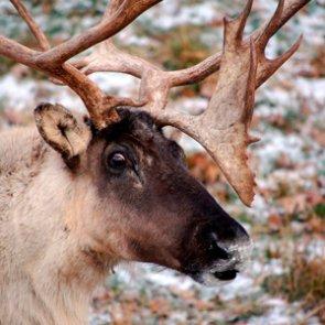 American caribou extinct in Lower 48