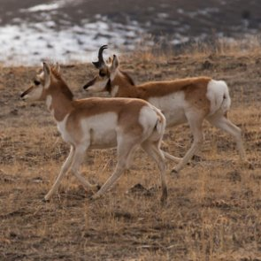 Montana holds antelope game damage hunt