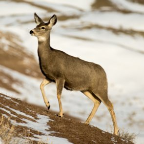 Over 3,400 antlerless licenses are available in North Dakota