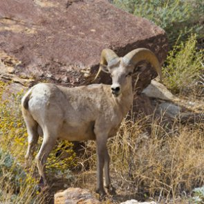 Arizona forced to euthanize three bighorn sheep near Yuma